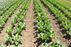 рядки урожая Стоковая Фотография RF