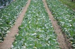 рядки cauliflower Стоковые Фото