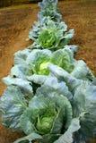 рядок капусты растущий Стоковая Фотография RF
