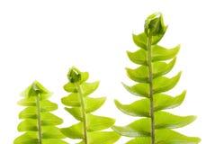 рядок свежих зеленых листьев принципиальной схемы новый Стоковые Фотографии RF