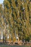 Рядок черного тополя стоковые изображения