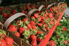 рядок ягоды корзин Стоковая Фотография RF
