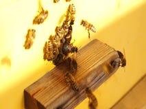 Рядом Пчелы у улья пчел Рой пчел видеоматериал
