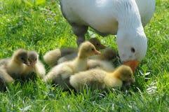 ряд гусынь фермы семьи свободный Стоковая Фотография RF
