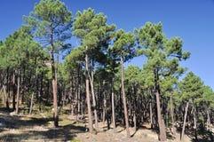 ряд Испания пущи albarracin среднеземноморской Стоковая Фотография RF
