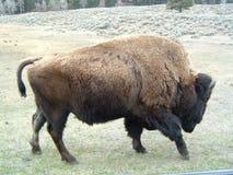 Ряд буйвола Стоковое Изображение