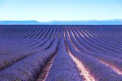 Рядки полей цветка лаванды зацветая бесконечные. Valensole Провансаль стоковое фото