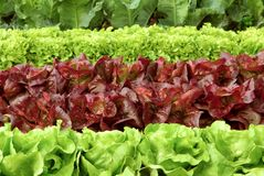 Рядки свежего салата на поле Стоковая Фотография