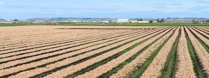 Рядки луков Стоковая Фотография RF