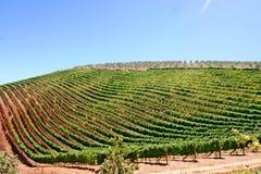 Ряды вина Стоковое Фото