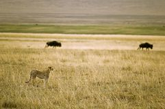 саванна гепарда Стоковые Изображения