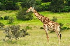саванна giraffe обозревая Стоковая Фотография