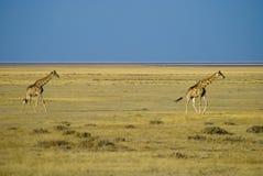 саванна giraffe Стоковые Фото