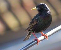 садитесь на насест starling Стоковая Фотография