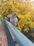 Садиться на насест голубя стоковое фото
