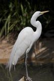 садиться на насест egret стоковая фотография