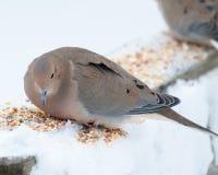 Садить на насест голубь Mouning Стоковое фото RF