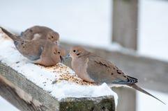 Садить на насест голубь Mouning Стоковые Фото