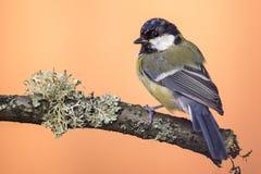 Садить на насест молодая больш-синица на деревянной ветви с лишайником Стоковые Фотографии RF