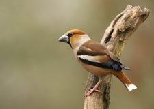 садить на насест Hawfinch Стоковое Изображение RF