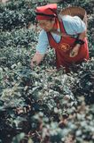 Садовники собирают листья чая стоковые изображения