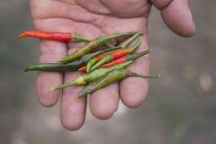 Садовник держа свежие красные и зеленые перцы chili в его руке стоковое фото rf