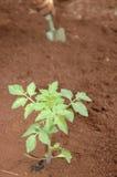 садовник засаживая сеянцы Стоковые Изображения