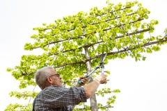 Садовник режет высокие орнаментальные ножницы дерева стоковое изображение rf