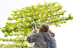 Садовник режет высокие орнаментальные ножницы дерева стоковое фото
