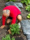Садовник трансплантируя зеленый кустарник перед мульчировать стоковые фото
