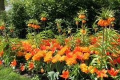 садовничает keukenhof Фото макроса тюльпанов стоковая фотография