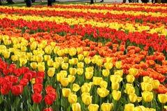 садовничает keukenhof Фото макроса тюльпанов стоковые фото
