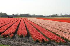 садовничает keukenhof Фото макроса тюльпанов стоковое фото rf