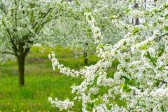 Садовничайте с величественно blossoming большими деревьями на свежей зеленой лужайке стоковые фотографии rf