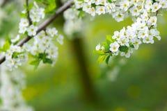 Садовничайте с величественно blossoming большими деревьями на свежей зеленой лужайке стоковая фотография rf