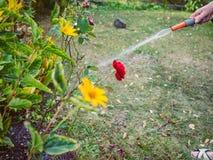 Садовничать - полив цветков Стоковая Фотография RF