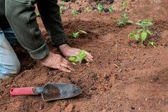 Садовничать старшего человека Vegetable Стоковые Фотографии RF