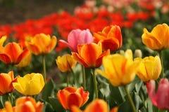 садовничают много тюльпанов Стоковое Изображение RF