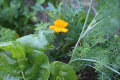 Садовничающ используя принципы permaculture, синергия между заводами Мой органический сад стоковые изображения rf