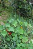 Садовничающ используя принципы permaculture, синергия между заводами Мой органический сад стоковая фотография