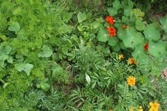 Садовничающ используя принципы permaculture, синергия между заводами Мой органический сад стоковые изображения