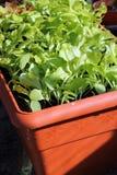 садовничая крытые сеянцы салата Стоковая Фотография