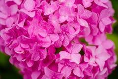 Садовничая цветки Цвести цветки в саде лета Цветение гортензии на солнечный день Цветя завод hortensia Розовый стоковые фотографии rf