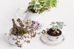Садовничая чашки фарфора Стоковое Фото
