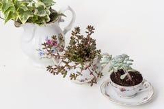 Садовничая чашки фарфора Стоковая Фотография
