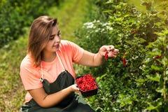 Садоводы красной смородины проектируют работу в саде с сбором, женщиной с коробкой ягод стоковые фотографии rf
