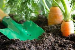 Садовые инструменты и морковь на почве резюмируют предпосылку весны Стоковые Изображения