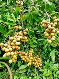 Сады Longan Стоковые Фото