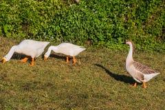 Сады Pyin Oo Lwin Мьянма Gooses национальные Kandawgyi Стоковые Фото