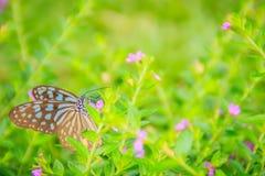Садятся на насест темная стекловидная голубая бабочка тигра на фиолетовом Mexica Стоковое Изображение RF